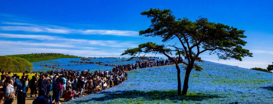 国営ひたち海浜公園(ネモフィラ)
